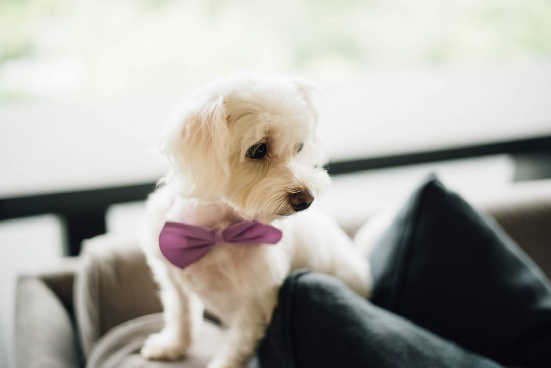 Small dog with bowtie on wedding day